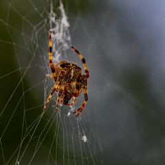 Spider 8 (uplandswolf) Tags: spiders arachnids