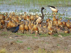 Dendrocygna eytoni 4 (Barry M Ralley) Tags: mamukala wetlands kakadu national park nt northern territory ausbird ausbirds plumed whistling duck dendrocygna eytoni
