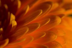 Gerbera (titusgaertner) Tags: gerbera sonya6300 sony sigma105mmf28 sigma makro makrofotografie macro nahaufnahme details orange blume flower blooming blumenstraus
