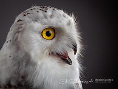 Sneeuwuil | Bubo scandiacus | Snowy owl (Ed Steenhoek) Tags: bird birdsofprey bubo buboscandiacus hornedowl snowyowl strigidae trueowl