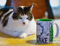 "Banjo says, ""Monday again. Need coffee. Need ... more ... coffee ..."" (thinduck42) Tags: feline animal coffee monday a7iii sony sony85mmf18 portrait drink"