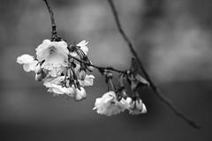 Cherry blossoms (mellting) Tags: eskilstuna eskilstunastadspark nikond500 platser bloggad flickr instagram matsellting mellting nikon sigma70300456 sverige sweden cherryblossoms sakura körsbärsblommor tree monocrome bnw blackandwhite