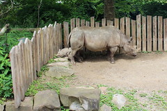 Black Rhinoceros at Cleveland metroparks Zoo - Cleveland, Ohio (FitchDnld) Tags: cleveland clevelandohio clevelandmetroparkszoo clevelandzoo clevelandmetroparks ohio ohiozoo metroparks zoo rhinoceros black blackrhinoceros animal mammal