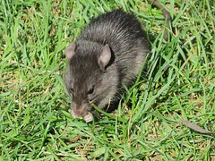 Black Rat 2 (Shelley Penner) Tags: blackrat rattusrattus mammal rodent rat grass eating