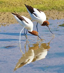 Dinning in unison (oliverred) Tags: redneckedavocets fantasticnature alittlebeauty coth coth5 naturethroughthelens