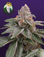 sour-girl-strain-240x312 (Watcher1999) Tags: sour diesel bubble jack cannabis crack girl california medical marijuana seeds growing strain plant weed weeds smoking ganja legalize it