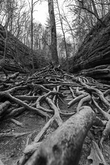 The Roots (modestmoze) Tags: roots outside outdoors travel explore view 2018 april illinois day lines black white blackandwhite park statepark shadows 500px trees forest beautiful nature naturephotograph naturelove new interesting wide lowangleview lowangle wilderness