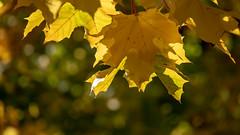 Licht und Schatten im Herbst (p.schmal) Tags: olympuspenf hamburg farmsenberne herbstlicht herbstfarben
