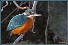 Martin-Pêcheur 181015-01-P (paul.vetter) Tags: oiseau ornithologie ornithology faune animal bird martinpêcheur alcedoatthis eisvogel kingfisher