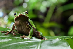 2J4A8053 (ajstone2548) Tags: 12月 樹蛙科 兩棲類 翡翠樹蛙