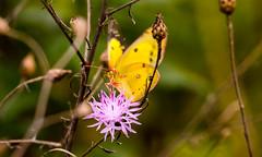 7K8A7611 (rpealit) Tags: scenery wildlife nature weldon brook management area orange sulphur butterfly