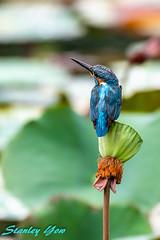 D850-6779 (yowstanley) Tags: nikon nature d850 200500mm bird green garden wild