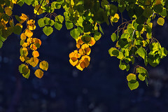 Fall Leaves (anderswetterstam) Tags: fall nature seasons trees leaves autumn golden sulshine sunlight yellow changes