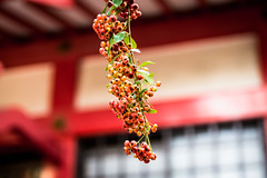 Berries and shrine (tokyobogue) Tags: tokyo japan ukimafunado ukimakoen nikon nikond7100 d7100 sigma sigma1750mmexdcoshsm shrine funadohikawashrine red berries bokeh