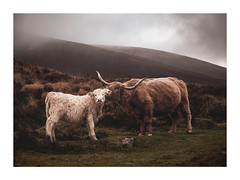 Wet Behind the Ear (picturedevon.co.uk) Tags: dartmoor nationalpark devon england uk countryside outdoors weather rain water livestock highlandcow cattle calf animal color mist nature mother canon wwwpicturedevoncouk