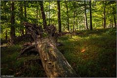 Totholz (geka_photo) Tags: gekaphoto timmdorf schleswigholstein deutschland wald herbst bäume baum totholz grün
