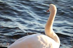 IMG_7742 (pekka.jarvelainen) Tags: joutsen swan vene auringonlasku sunset