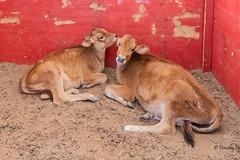 Two Calves at Creamy Acres Farm (Mullica Hill, New Jersey) (Jersey Camera) Tags: cow calves dairyfarm farm creamyacresfarm