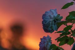 Sunset Tears (NathalieSt) Tags: europe exmes france normandie bassenormandie campagne countryside nature nikon nikond750 nikonpassion nikonphotography normandy orne rose drops drop goutte gouttes rain pluie sunset coucherdesoleil