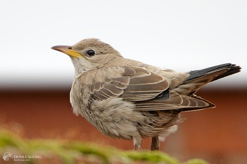 Rose-coloured Starling - Juvenile