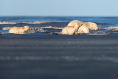 """Coming Ashore"" (Glatz Nature Photography) Tags: alaska arctic arcticalaska barterisland glatznaturephotography kaktovik nanook nanuk nanuq nature northamerica northslope polarbear ursusmaritimus wildanimal wildlife"