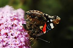Red Admiral (Vanessa atalanta) (nedjetwave) Tags: wildlife nature gardenwildlife garden butterflies redadmiral vanessaatalanta fauna insects invertebrates nikon d70s lepidoptera tamronsp500mmf8