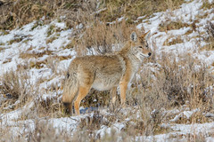 Standing tall (ChicagoBob46) Tags: coyote yellowstone yellowstonenationalpark nature wildlife naturethroughthelens coth5 ngc npc