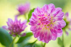 dahlia 0945 (junjiaoyama) Tags: japan flower dahlia plant autumn fall pink bokeh macro