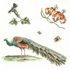 Convolvulus, Lilies, Two Flies and a Peacock by Johan Teyler (1648-1709). Original from the Rijks Museum. Digitally enhanced by rawpixel. (Free Public Domain Illustrations by rawpixel) Tags: otherkeywords animal antique art artwork beautiful beauty bird convolvulus decor decoration decorative design drawing elegance elegant fancy feather flies flora floral flower fowl green illustrated illustration johanteyler life lilies lily name natural nature old painting peacock peafowl plant plumage plume pretty retro tail vintage wild wildlife