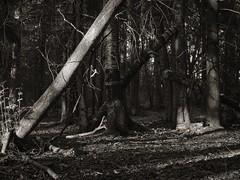 Ved Adalstjern (Geir Bakken) Tags: m43 mirrorless microfourthirds mitakon25mmf095 mitakon blackandwhite forest trees landscape norway horten perfectbeauty hdr