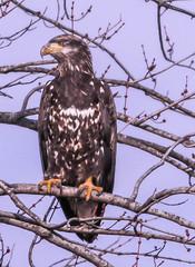 Juvenile (114berg) Tags: 07dec18 bald eagles sunset park marina mississippi river rock island illinois