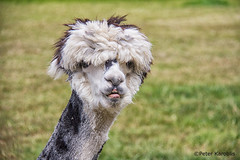 Alpaca (peterkaroblis) Tags: alpaca alpaka haustier domesticanimal tier animal vicugnapacos kamel camel schleswigholstein germany dichanschauend zugewandt facing lookingatyou