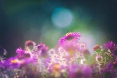 Hypnos (Ans van de Sluis) Tags: 2018 hortus september bokeh bokehlicious botanic botanical flora floral flower green macro summer aster dreamy sun light beauty
