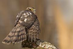 Eurasian Sparrowhawk - Sperwer (Wim Boon Fotografie) Tags: wimboon sperwer alblasserwaard holland bird vogel vogelhut canoneos5dmarkiii canon300mmf4lis14ex nederland netherlands natuur nature