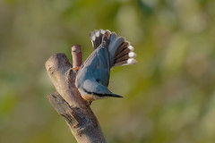 Fanfare (microwyred) Tags: bird birds wildlife nuthatch animal animalsinthewild beak birdwatching brown feather light nature oneanimal outdoors perch perching small
