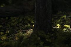 Muir Creek (Tony Pulokas) Tags: autumn fall oregon muircreek rogueriver forest oldgrowth douglasfir fir vanillaleaf tilt blur bokeh tree achlys