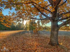sham-POO-ee (matthewolsonphotography.com) Tags: sunrise autumn oaktree oak leaves fall champoeg oregon orange morning trees branches iphone iphonexsmax hdr