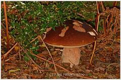 Cep or Penny bun 16cms high (2) (bobspicturebox) Tags: mushrooms horse head backbone honeycomb cep penny bun fly agaric blusher brittle stem false death cap knight deceiver russula forest scenes hampshire