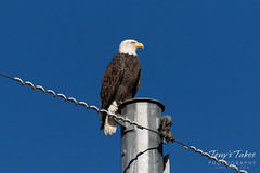 October 21, 2018 - A regal Bald Eagle in north Thornton. (Tony's Takes)