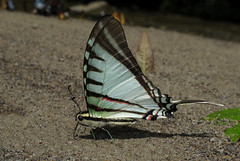 Neographium agesilaus (Over 4 million views!) Tags: butterfly neographiumagesilaus papilionidae peru butterflies insect