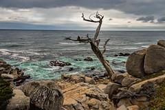 Ghost Tree (Roger Weeks) Tags: ghostcypress 17miledrive pebblebeach carmelbythesea carmel monterey montereybay seemonterey californiacoast visitcalifornia wildcalifornia ocean tree cypress