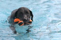 Hundeschwimmen im Freibad (HDRforEver) Tags: canon dog black freibad owl gehlenbeck