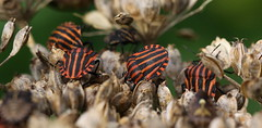the gathering (bugman11) Tags: graphosomaitalicum bug bugs pyjamawants canon 100mm28lmacro nederland thenetherlands rheden pyjamschildwants insect insects shieldbug wants fauna stripes red macro animal animals