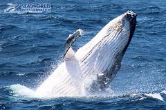 Jump for joy! (Sea World Whale Watch) Tags: seaworldwhalewatch seaworldwhalewatching seaworld seaworldcruises sea humpbackwhale humpbackwhales humpback humpbackwhalespyhopping spyhopping spyhop whalecalf calf smilingcalf humpbackcalf breach breaching breachingwhale whalebreach whalebreaching adultwhales australia goldcoast g goldcoastwhalewatching goldcoastwhalewatchingtours goldcoastwhalewatch whalewatching whalewatchinggoldcoast whalewatchingtoursaustralia whale windy