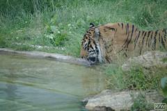 IMG_5207 (Roy Wolfe) Tags: 760d animal europe feline locationgeo locationtheme london tiger ukgreatbritain zsllondonzoo digitalcamera outdoor remark source