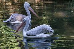 Kroeskop pelikaan - Dalmatian pelican (Den Batter) Tags: nikon d7200 zooparc overloon kroeskoppelikaan dalmatianpelican pelecanuscrispus