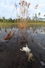 Eastern Spadefoot (Mike D. Martin) Tags: predation scaphiopusholbrookii scaphiopus easternspadefoot spadefoot amphibian animal wildlife nature aquatic frog mortality