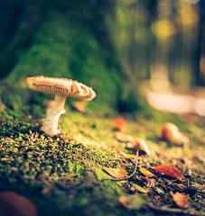 Toadstool sliders (ianmiddleton1) Tags: hss sliderssunday autumn fall fungi toadstool nature woodland sunlight