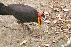 Australian Brush-turkey closeup ( Alectura lathami) (Urban and Nature OZ) Tags: australian brushturkey australianbrushturkey birds bird nativebirds australianbirds alecturalathami grounddwelling