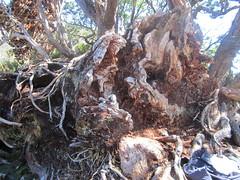 IMG_3763 (shearwater41) Tags: australia tasmania cradlemountain dovelake tree